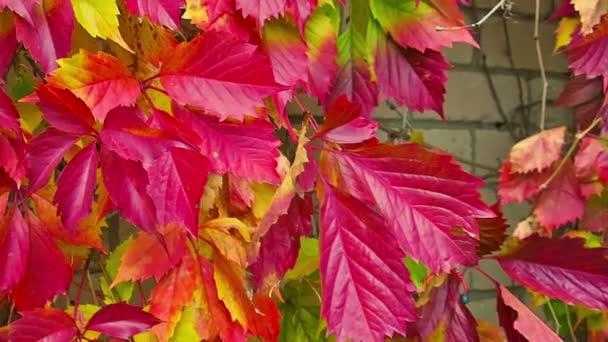 Barevné karmínové žluté oranžové fialová podzimní listí pozadí. Přírodní pozadí