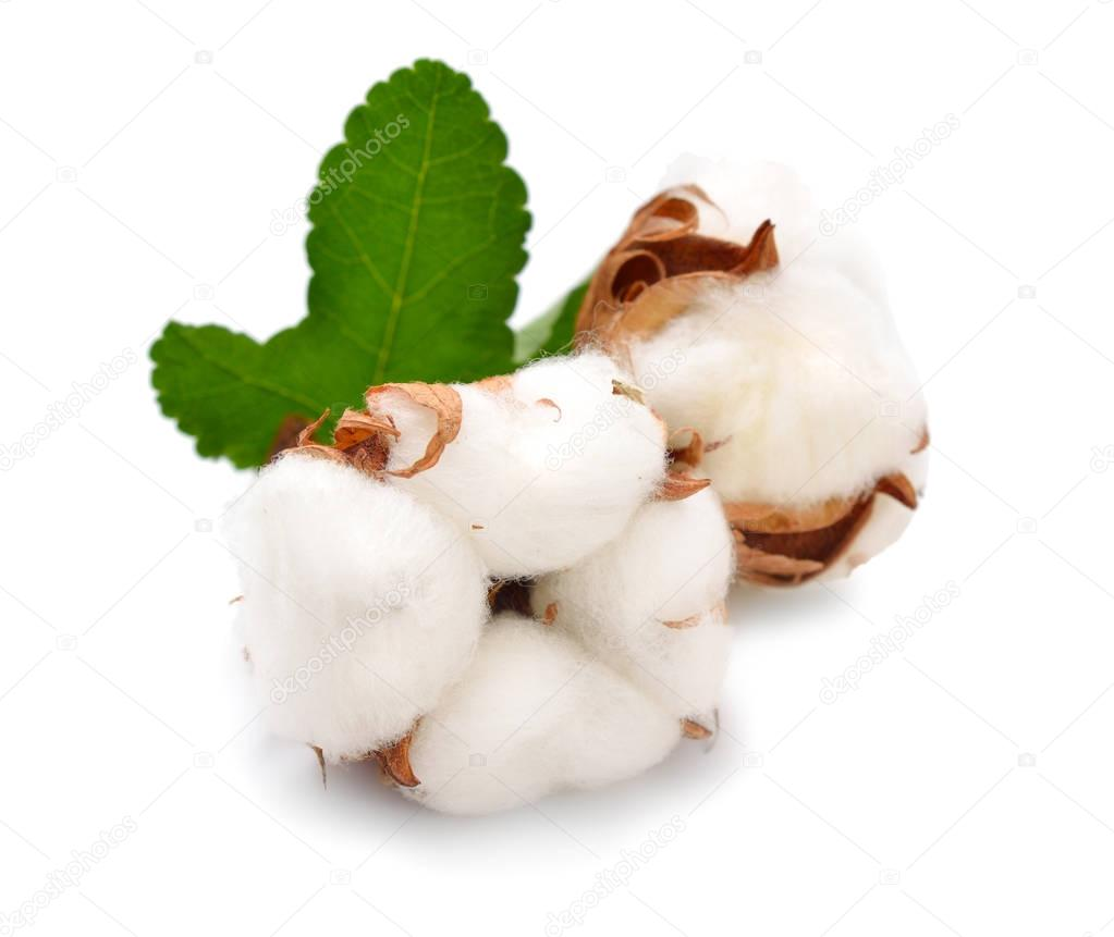 Cotton plant isolated