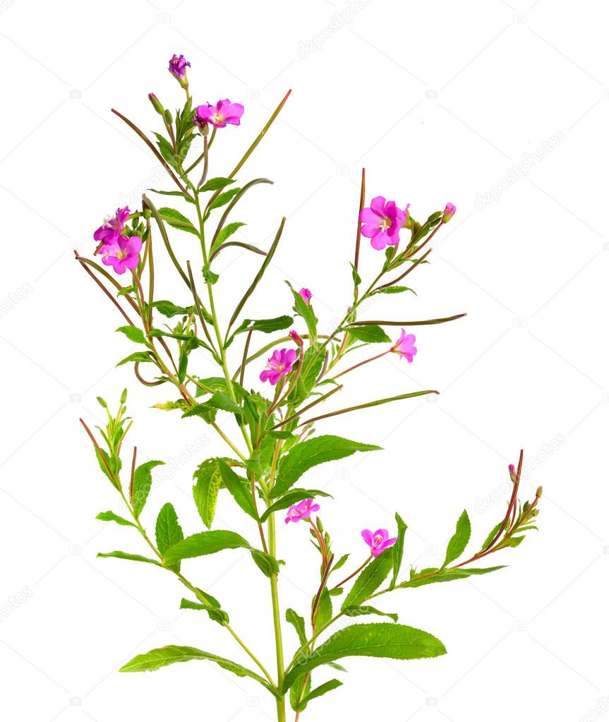 Epilobium hirsutum. Local names include codlins-and-cream, apple
