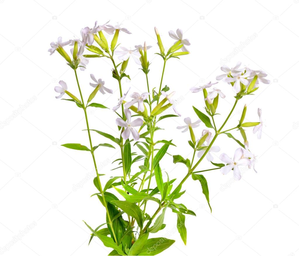 Saponaria, commonly known as soapwort. Isolated