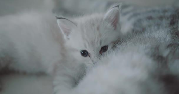 Matka kočka prsu krmení kotěte / detailní krásné bílé malé kotě s modrými oči stravovací mléko od mámy