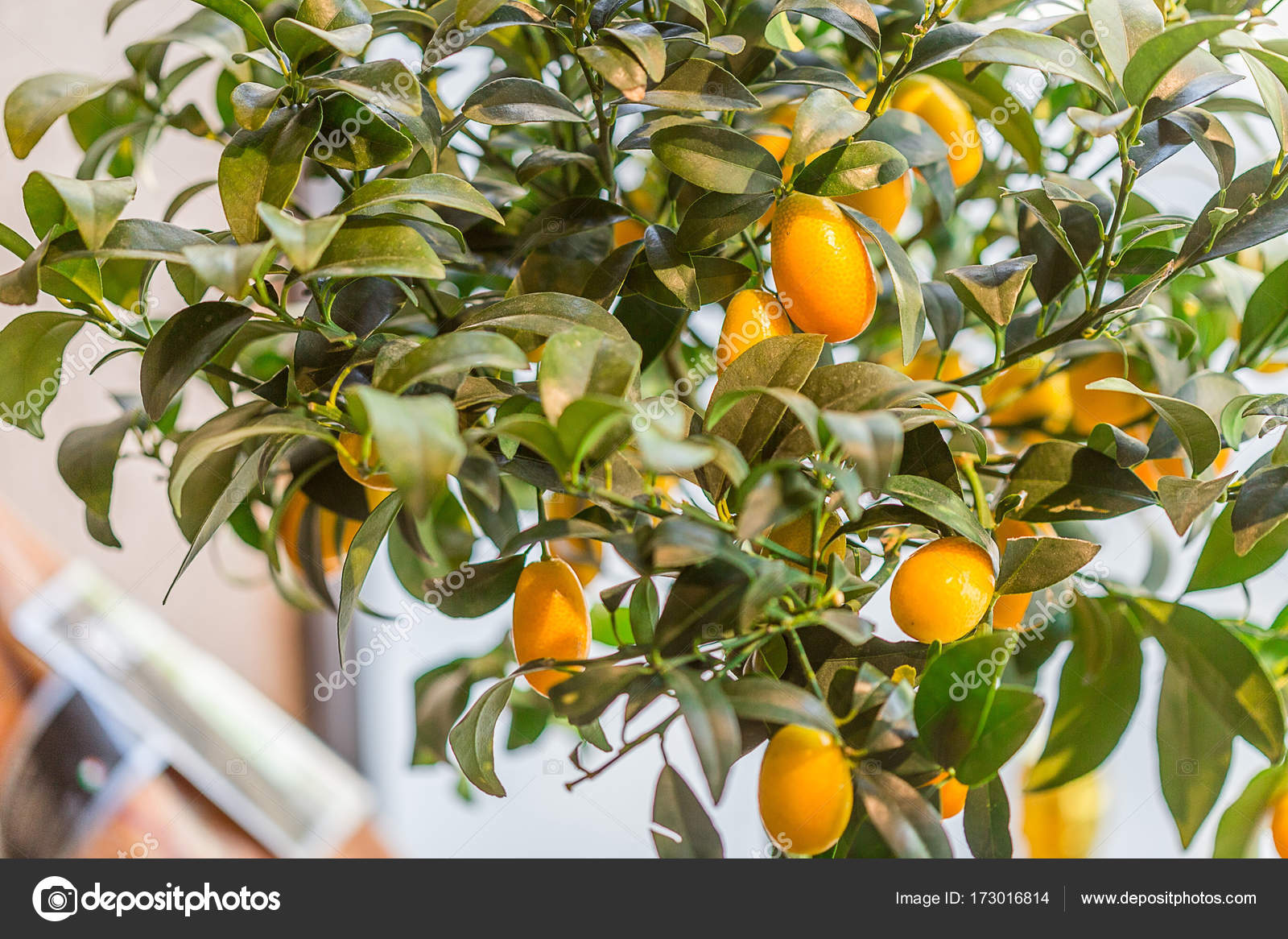 branches with orange kumquat fruits stock photo toyechkina