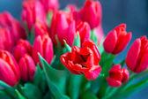 belle tulipani rossi