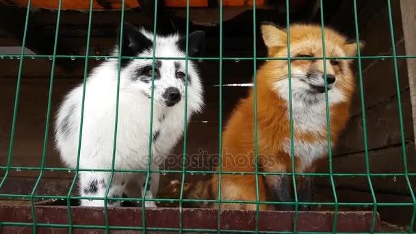 Muž společné červené lišky a ženské liška stříbrná černá