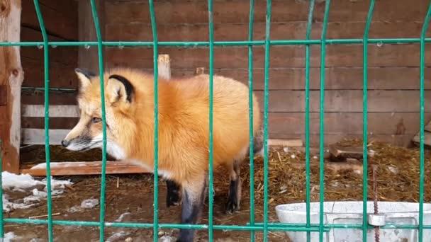 Male of common red Fox in public nursery