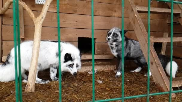 Female of silver-black fox in public nursery