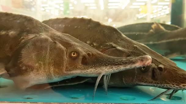 Stör-Beluga im Aquarium. Lebende Fischdelikatessen