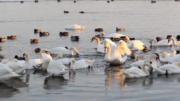 Fehér hattyúk és kacsák a riveren. Madarak flap szárnyukat, és tollászkodás a toll.