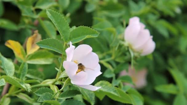 eine Biene sammelt Pollen von Blüten der Hagebutten