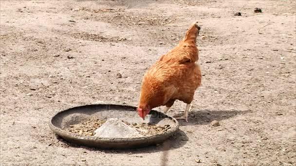 Hen pecks food for a walk