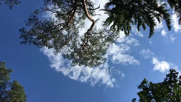 High coniferous trees against the sky. Bialowieza Forest.