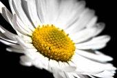 Fotografie White Daisy Flower
