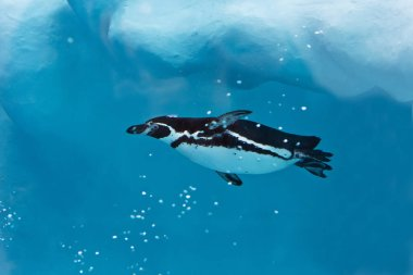 The penguin swims in the cool fresh blue water under the iceberg.