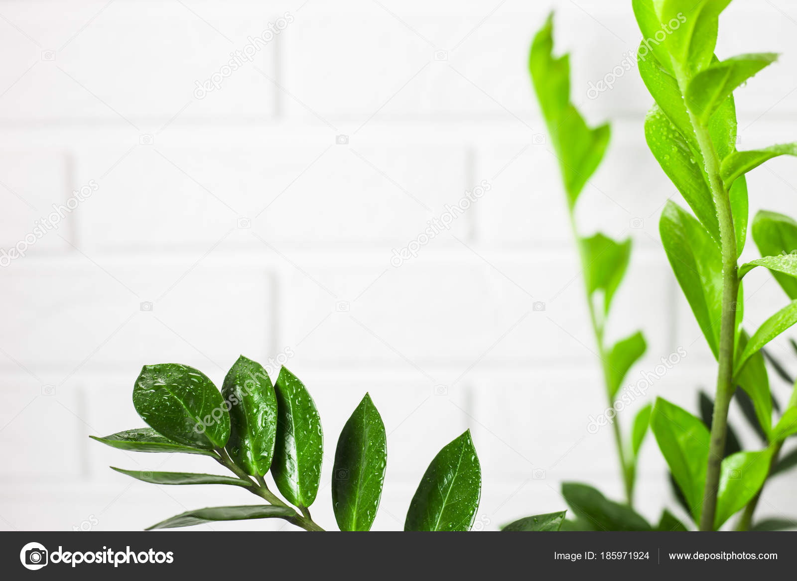 Zamiokulkas Houseplant Bright Green Leaves White Brick Wall ... on white and green leaves weed, epipremnum pothos house plant, potted white azalea plant, serene peace plant, white calla lily plants,