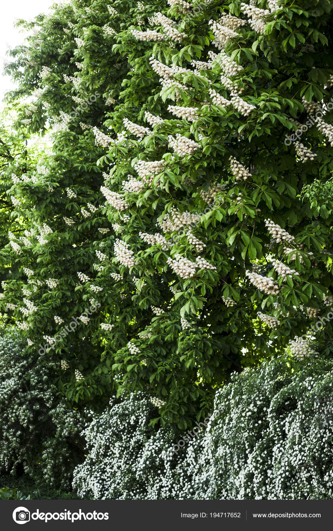 White flowering bushes next large flowering chestnuts spring kiev white flowering bushes next large flowering chestnuts spring kiev stock photo mightylinksfo