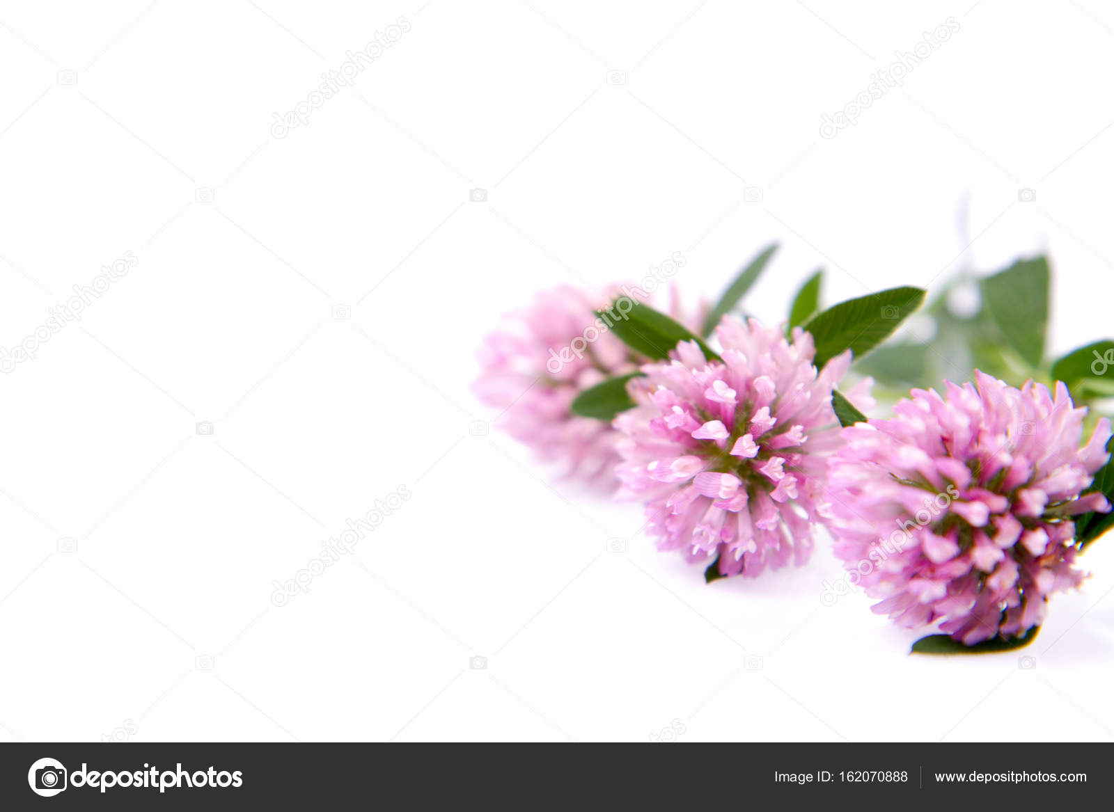 Pink Clover Flowers Stock Photo Teine26 162070888