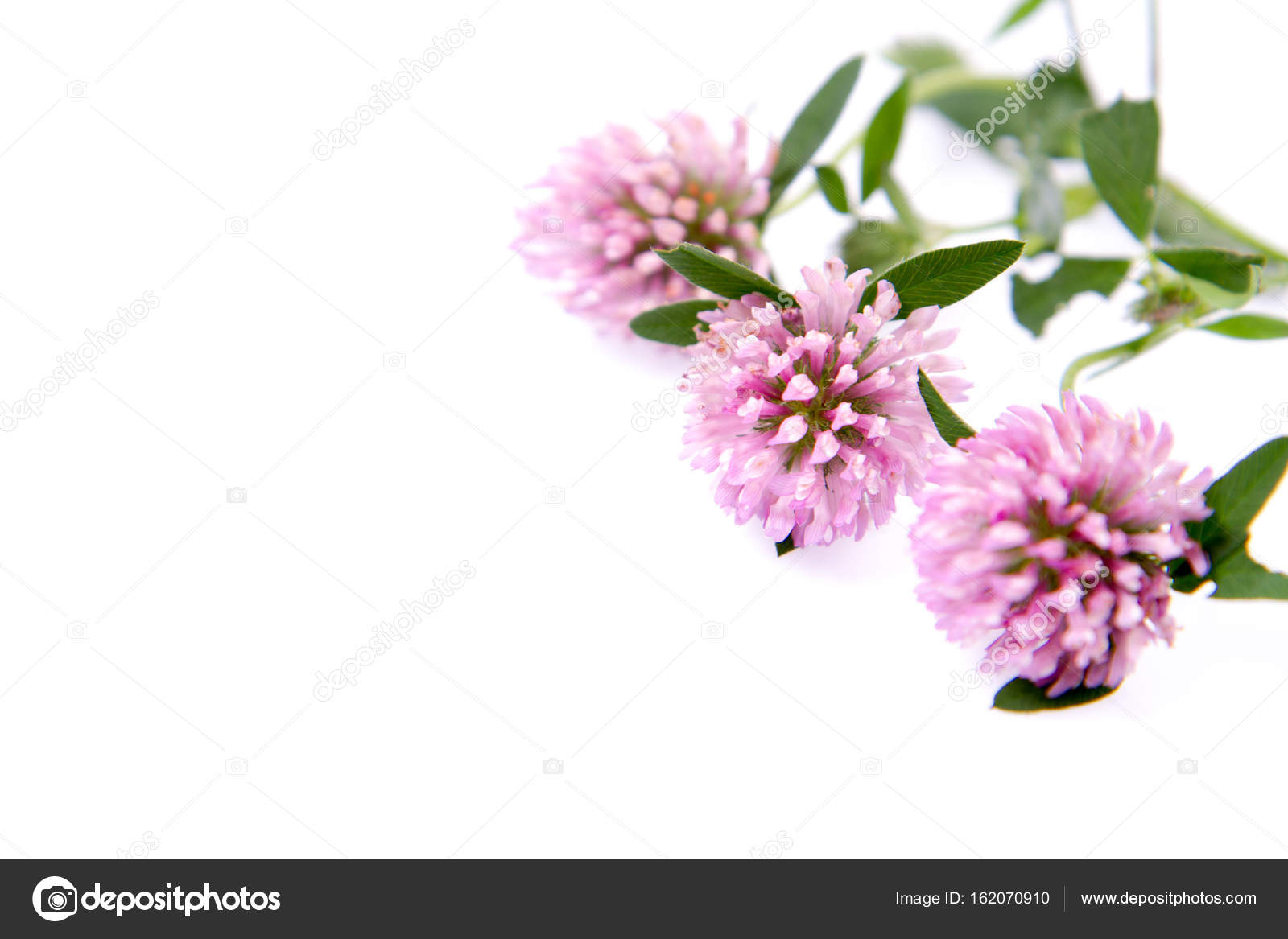 Pink Clover Flowers Stock Photo Teine26 162070910