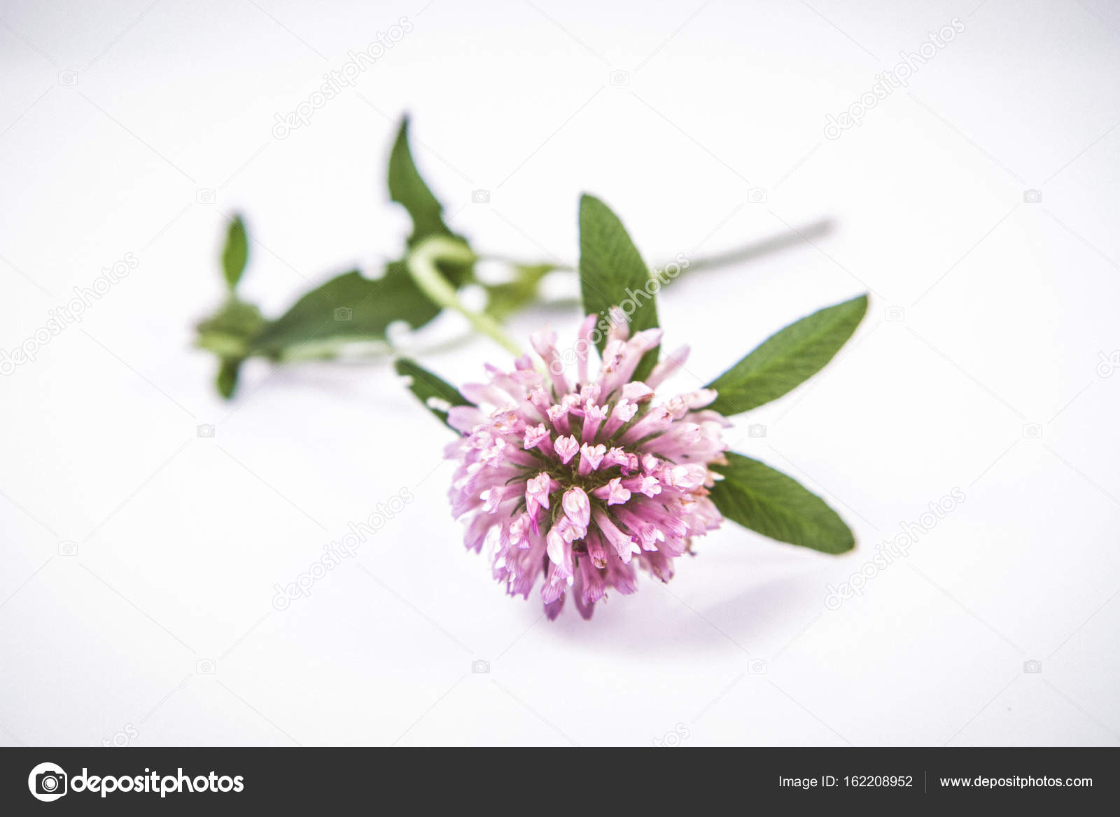 Pink Clover Flowers Stock Photo Teine26 162208952