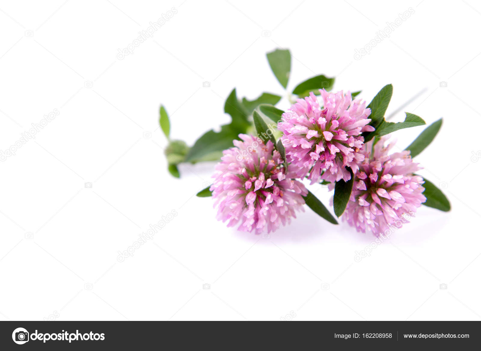 Pink Clover Flowers Stock Photo Teine26 162208958
