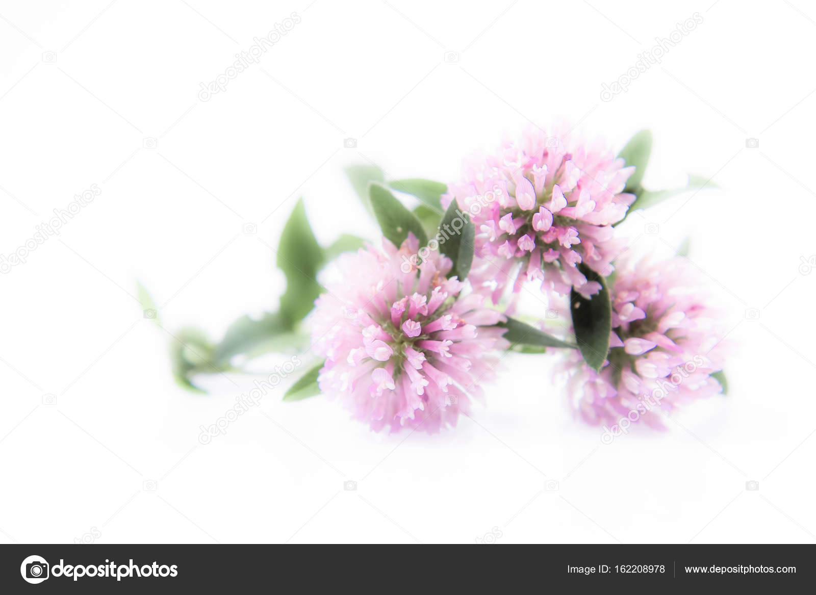 Pink Clover Flowers Stock Photo Teine26 162208978