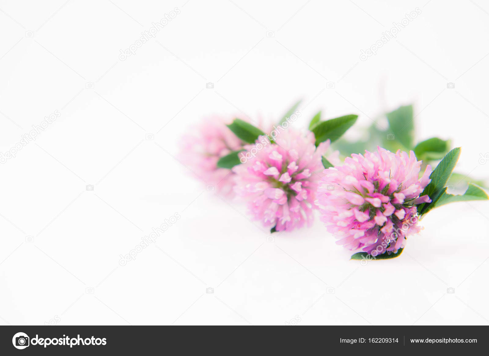 Pink Clover Flowers Stock Photo Teine26 162209314