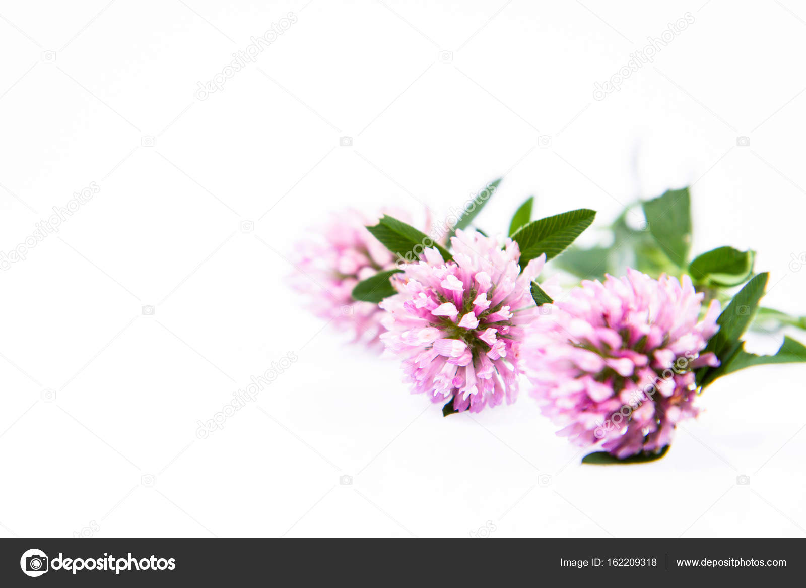 Pink Clover Flowers Stock Photo Teine26 162209318