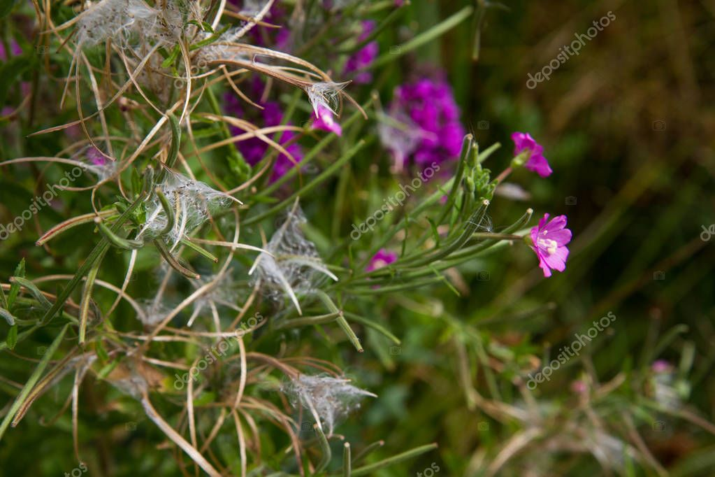 The Great willowherb