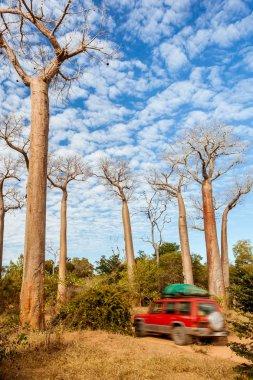 Baobab trees of Madagascar