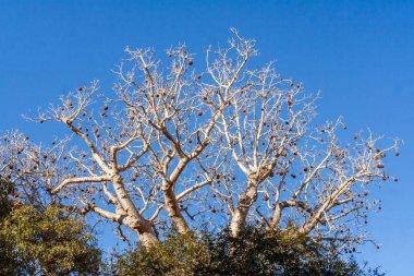 Fruit of baobab