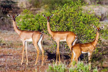 Female Impala gazelle in Masai Mara reserve, Kenya