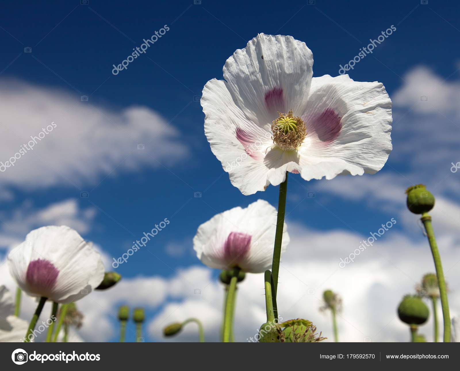Detail Of Flowering Opium Poppy Poppy Field Stock Photo Prudek