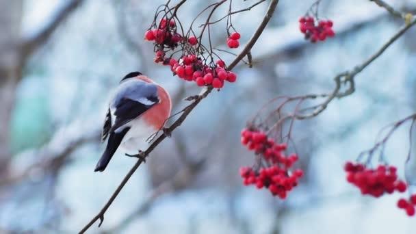 Bullfinch jí bobule horského popela. Čas podzimu, zima. Zmrzliny, led na stromě, bobule, ovoce. Střelba ze stativu.