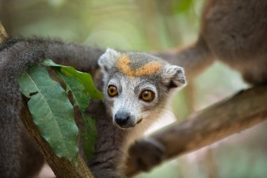 crowned lemur Ankarana National Park