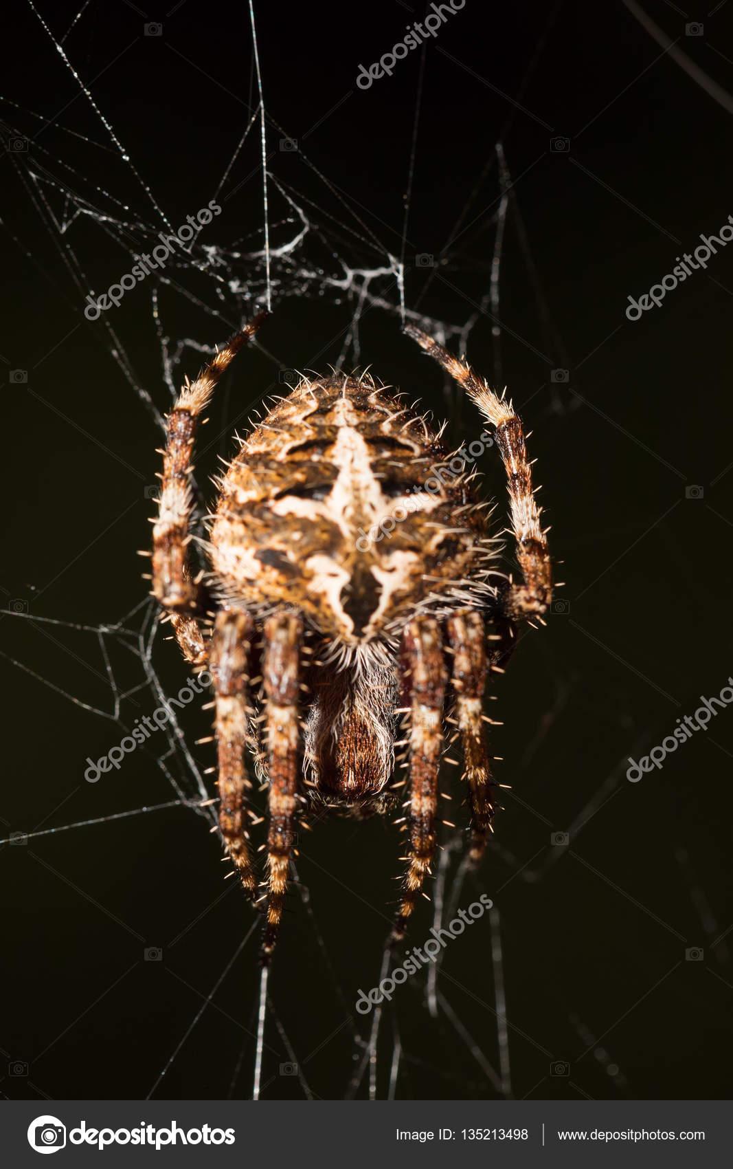 Darwin\'s bark spider (Caerostris darwini) Madagascar — Stock Photo ...