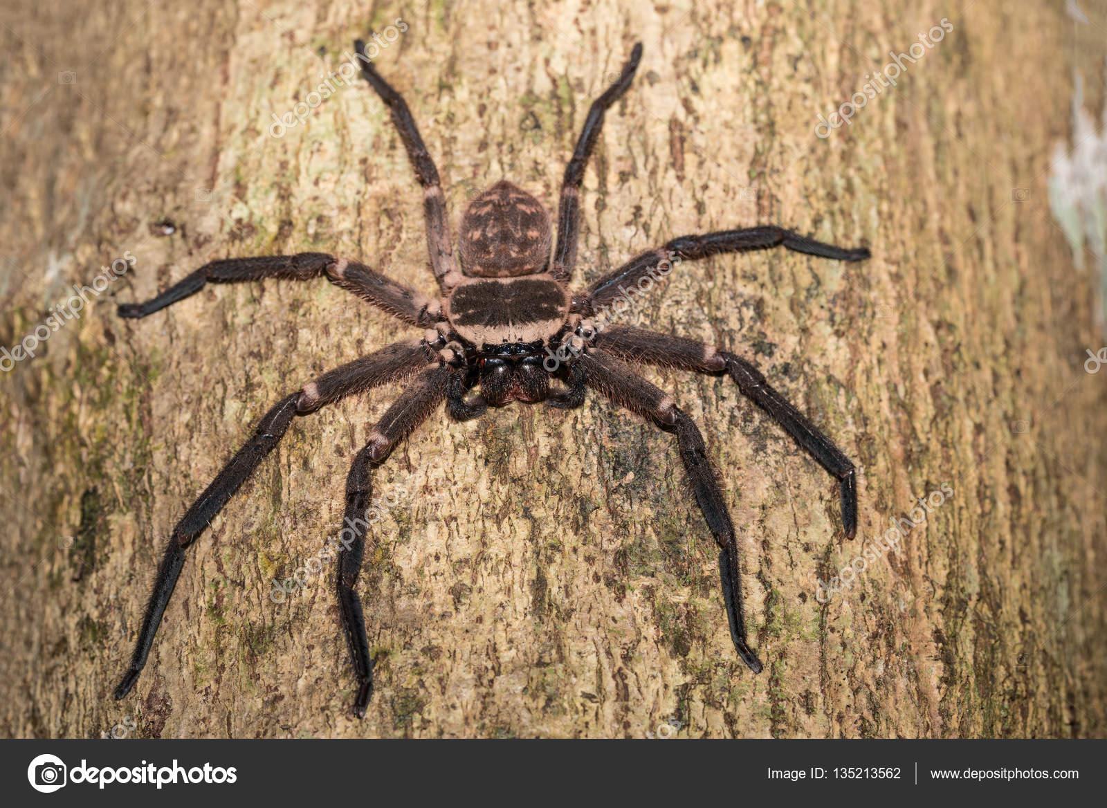 マダガスカルの木に大きなハンツマン クモ — ストック写真