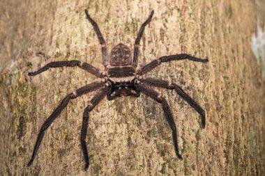 big huntsman spider on tree Madagascar