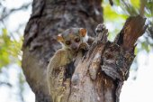 Fotografie Ankarana sportive lemur, Madagascar