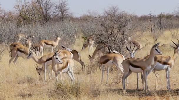herd of springbok, Africa safari wildlife