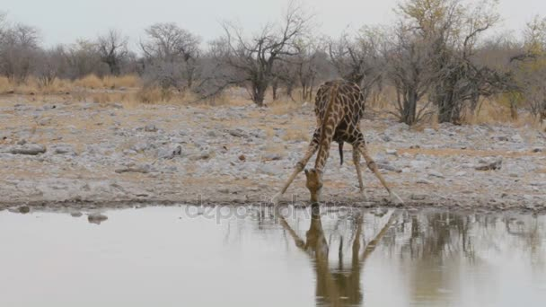 Žirafa, pití na Napajedla, Namibie, Afrika přírody
