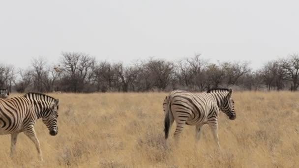 Zebra v buši afrických etosha, Namibie. Volně žijící zvířata Afriky