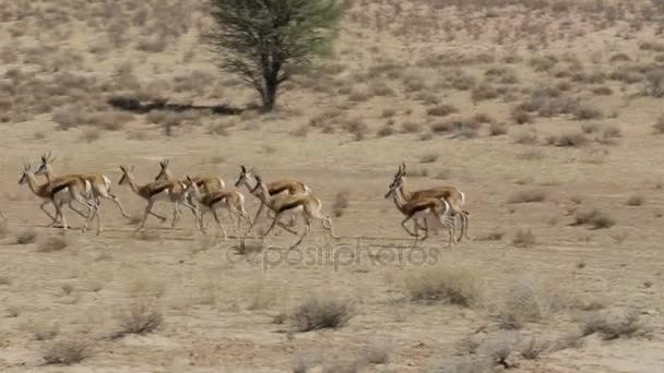 running herd of springbok, Africa safari wildlife
