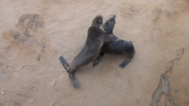 dětské lachtan jihoafrický - sea lions, Namibie, Afrika wildlife