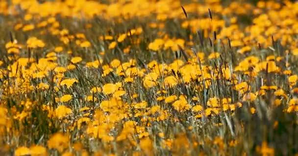 Jarní květy pampelišky v louce