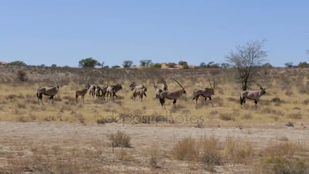 Gemsbok, Oryx gazella, africa wildlife South Africa