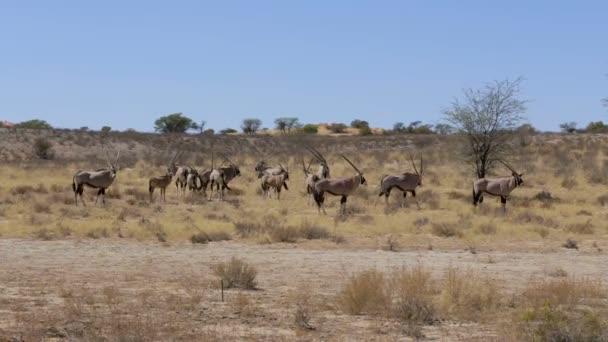 Gemsbock, Oryx Gazella, Wildlife Südafrika