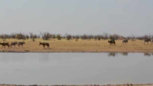 Tsessebe (Damaliscus lunatus), zebra and oryx on waterhole