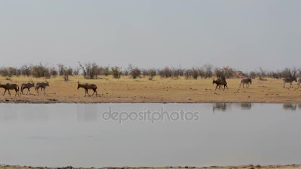Tsessebe (Damaliscus lunatus), zebra a přímorožce na Napajedla