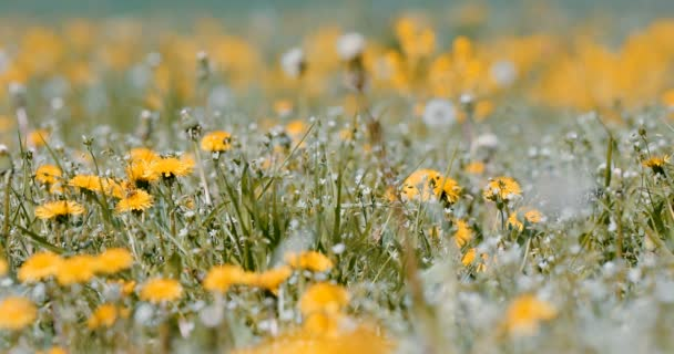 tavaszi virágok a rét, a tavaszi jelenet pitypang