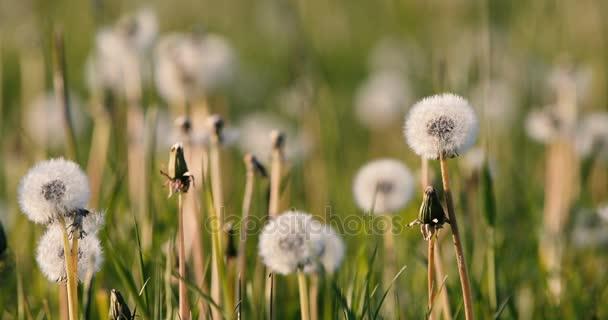pitypang a vetőmagot a tavaszi szellő rét