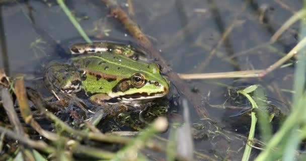 grüne Seefrosch am Teich, Wildtieren